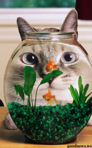 cat being hypnotised by fish in jar