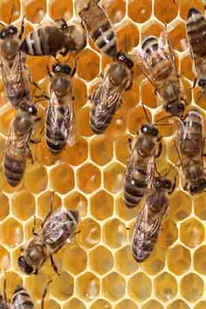 Honey Bees Will Identify Diseases