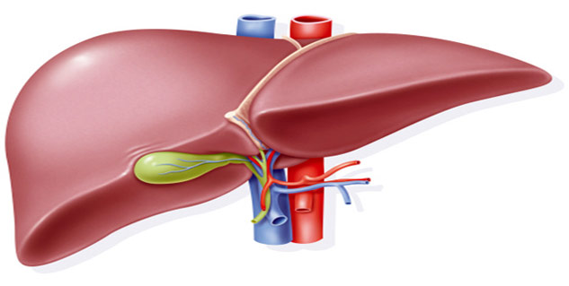 The Functions Of Liver In Human Body