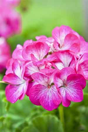 Geranium Herb can Treat AIDS