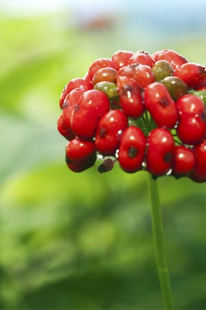 Ashwagandha Bio Poudre   Avis - Vertus santé