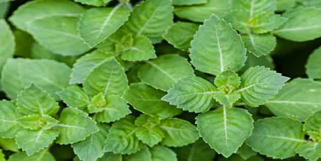 basil leave in hindi