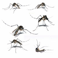 Different Type OF Mosquito